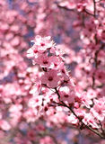 Pink plum blossoms on a spring day with a shallow depth of field Royalty Free Stock Photos