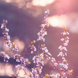 Pink plum flower in sunshine morning close-up view royalty free stock image