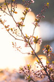Pink plum flower in sunshine morning close-up view Stock Images