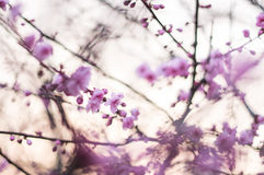Pink plum flower. Use plum flower as a background Stock Photo