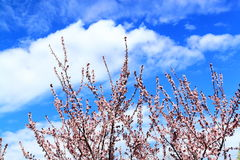 Pink Plum Flowering Tree Royalty Free Stock Photography