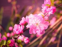 Pink plum tree flowers. In bloom Royalty Free Stock Photos