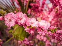 Pink plum tree flowers. In bloom Royalty Free Stock Image