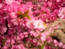 Pink plum tree flowers. In bloom Stock Photos