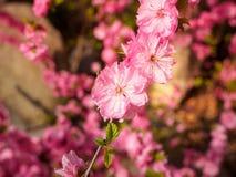 Pink plum tree flowers. In bloom Stock Photo