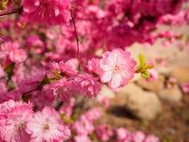 Pink plum tree flowers. In bloom Stock Image
