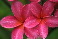 Pink Plumeria. Deep pink plumeria after a rain fall Royalty Free Stock Photos
