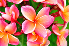 Pink Plumeria. Colorful and beautiful pink plumeria flower in the garden royalty free stock photos