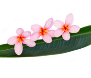 Pink plumeria Royalty Free Stock Photo
