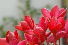 Pink plumeria Stock Images