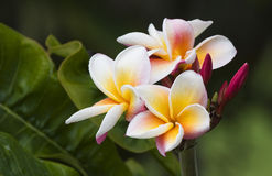 Pink Plumeria. Quintessential Hawaii -- pink plumeria blossoms Royalty Free Stock Images