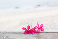 Pink plumeria on the beach Stock Photos