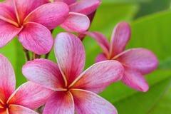 Pink Plumeria Stock Photo