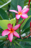 Pink Plumeria Flower Royalty Free Stock Photo