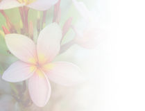 Pink plumeria flower background. Pink plumeria flower bloom background stock images