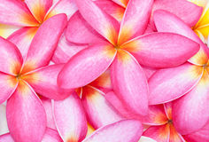 Pink plumeria flower background Stock Images