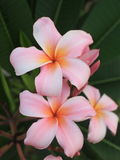 Pink plumeria flower Stock Images