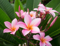 Pink plumeria flower Royalty Free Stock Images