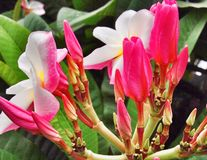 Pink plumeria flower Royalty Free Stock Photos