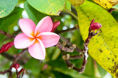 Pink plumeria flower and buds on tree. Stock Photos