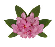 Pink plumeria flower decorated on white background Stock Image