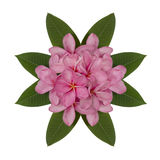 Pink plumeria flower decorated on white background Stock Photography