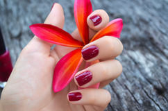 Pink plumeria flower in female hand with beautiful manicure Stock Photography
