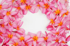 Pink Plumeria flower frame. On white royalty free stock photos