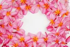 Pink Plumeria flower frame. On white Royalty Free Stock Photos