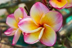 Pink plumeria flower, Frangipani Royalty Free Stock Photos