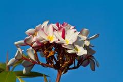 Pink plumeria flower, Frangipani Stock Image