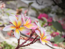 Pink Plumeria Flower Royalty Free Stock Image