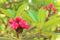 Pink plumeria flower in the garden.  Stock Image