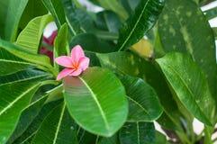 Pink plumeria flower on green leaf in garden. Stock Photo