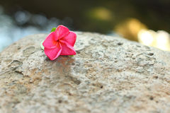 Pink Plumeria flower on a natural background. Royalty Free Stock Photography