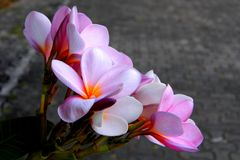 Pink plumeria flower stock photo