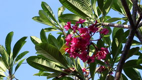 Pink plumeria flower on the tree. Tropical garden on Bali island, Indonesia. stock video