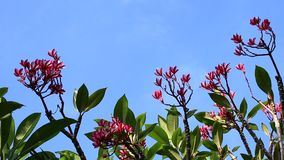 Pink plumeria flower on the tree. Tropical garden on Bali island, Indonesia. Pink plumeria flower on the tree. Tropical garden on Bali island stock video footage