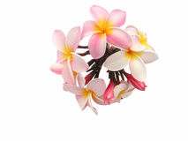 Pink Plumeria flowers. Bouquet or bunch of flowering pink plumeria flowers, isolated on white background Royalty Free Stock Photo