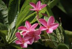 Pink Plumeria Flowers. These pretty pink plumeria flower photo taken near Miami Beach,Florida Stock Photography
