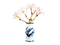 bunch of pink plumeria or frangipani flower in white chinese vase with blue flowers pattern isolated on white background Royalty Free Stock Photography