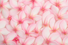 Pink plumeria flowers Royalty Free Stock Images