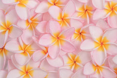 Pink plumeria flowers Royalty Free Stock Photography