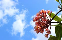 Pink plumeria flowers in cloudy sky background. Stock Photography