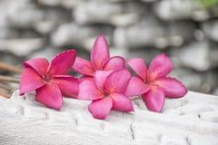Pink plumeria flowers Stock Photo