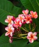 Pink  Plumeria flowers frangipani Royalty Free Stock Photos