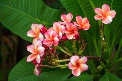 Pink  Plumeria flowers frangipani Stock Photography