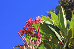 Pink plumeria flowers. Plumeria flowers in natural habitat on Hawaii island. Frangipani, lei Stock Photo