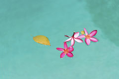 Pink plumeria flowers in pool Stock Photography