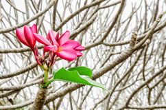 Pink Plumeria Flowers royalty free stock image